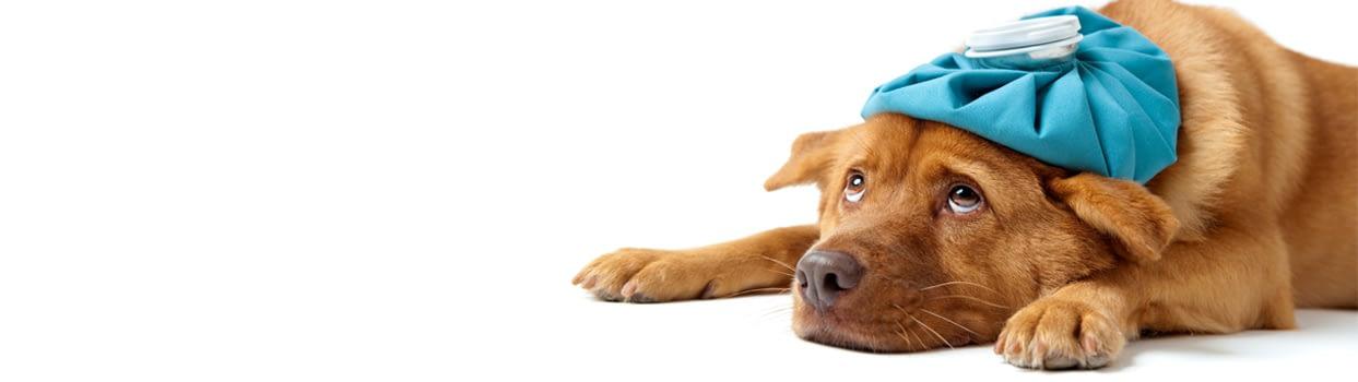 Χειμερινές ασθένειες του σκύλου