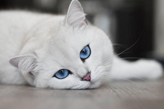 Η πιο δημοφιλής (και ακριβοπληρωμένη) γάτα στον κόσμο